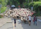 La Fête de la transhumance à Jaujac : une vitrine pour les éleveurs de moutons et la ruralité